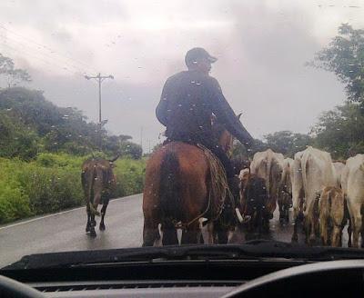 ¿Te gustaría manejar entre las vacas?